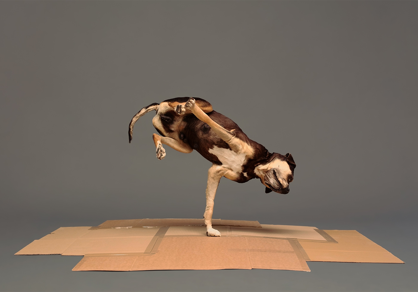 "trembling on one leg, this breakdancing dog is definitely setting the new world record of the ""handglide freezer"""